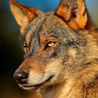 Wolf_Red